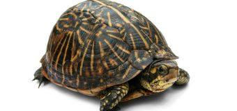 Черепаха – символ мудрости, черепаха по Фен-Шуй!