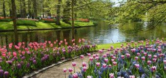 В Голландии зацвели тюльпаны